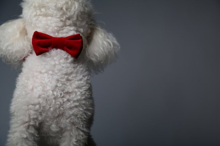 red-velvet-dog-bow-tie-max-bone-valentines-gifts-dogs-luxury-presents