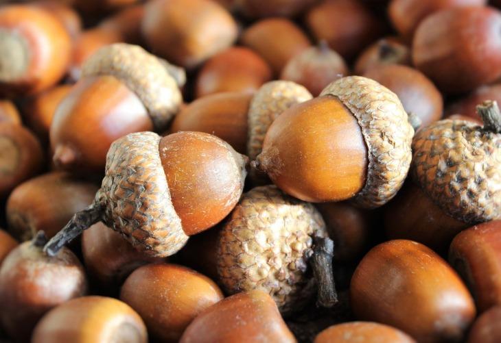 toxic-plants-dogs-acorns-perfectcockerspaniel-blog