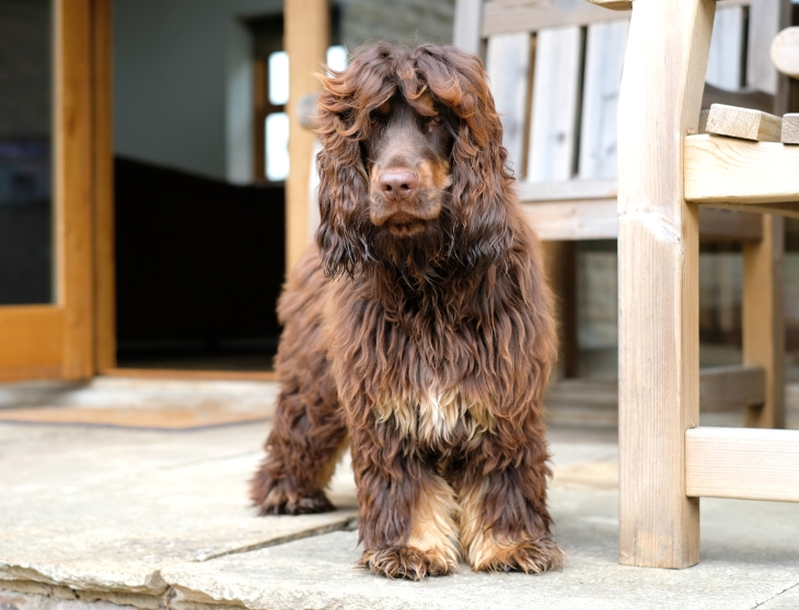 fred-perfectcockerspaniel-8months-old-fluffy-cocker-pup