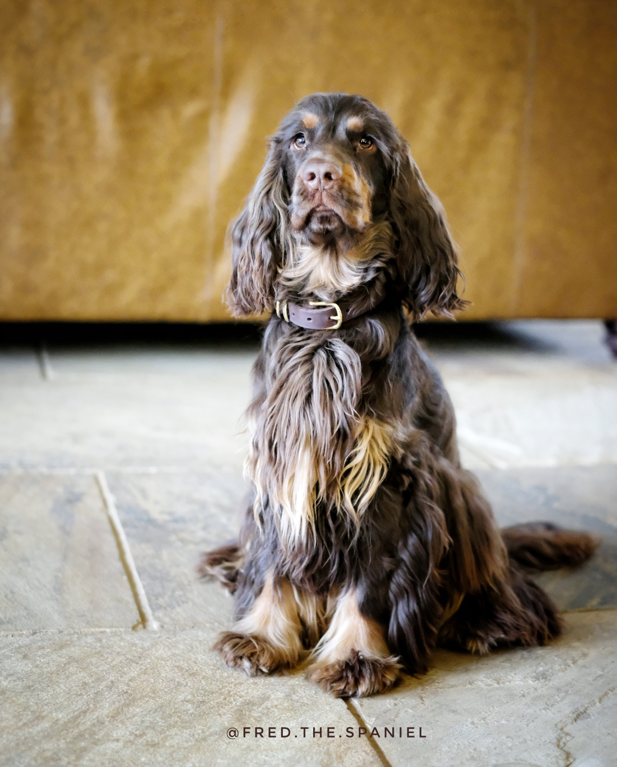 Fred, chocolate and tan English cocker spaniel puppy