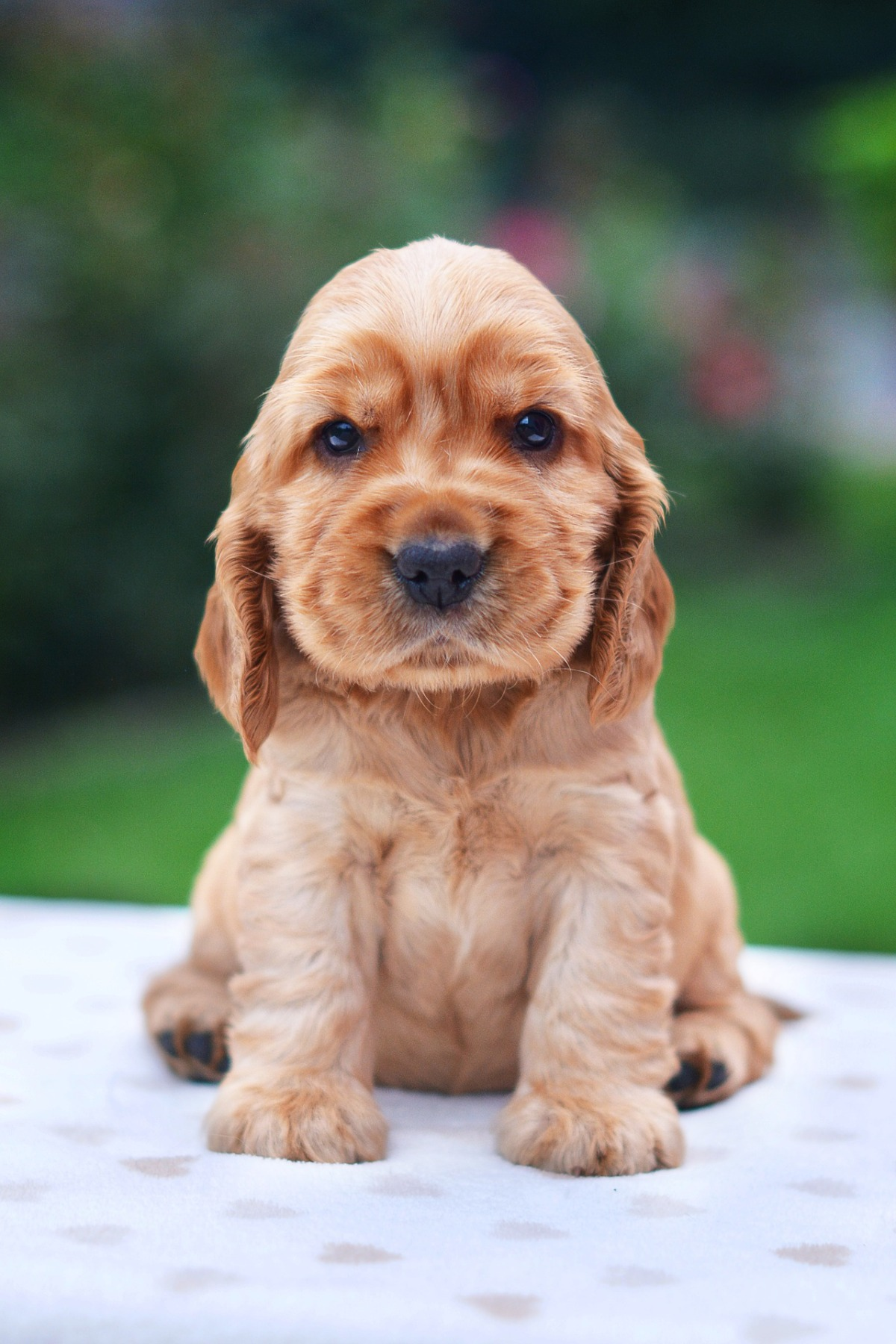 Golden english cocker spaniel puppy / facts about english cocker spaniels / grooming, ear problems, cockers shed, cocker spaniel smell / puppy advice and tips / first puppy / how to find a cocker spaniel puppy / first published on Perfect cocker spaniel blog (C)