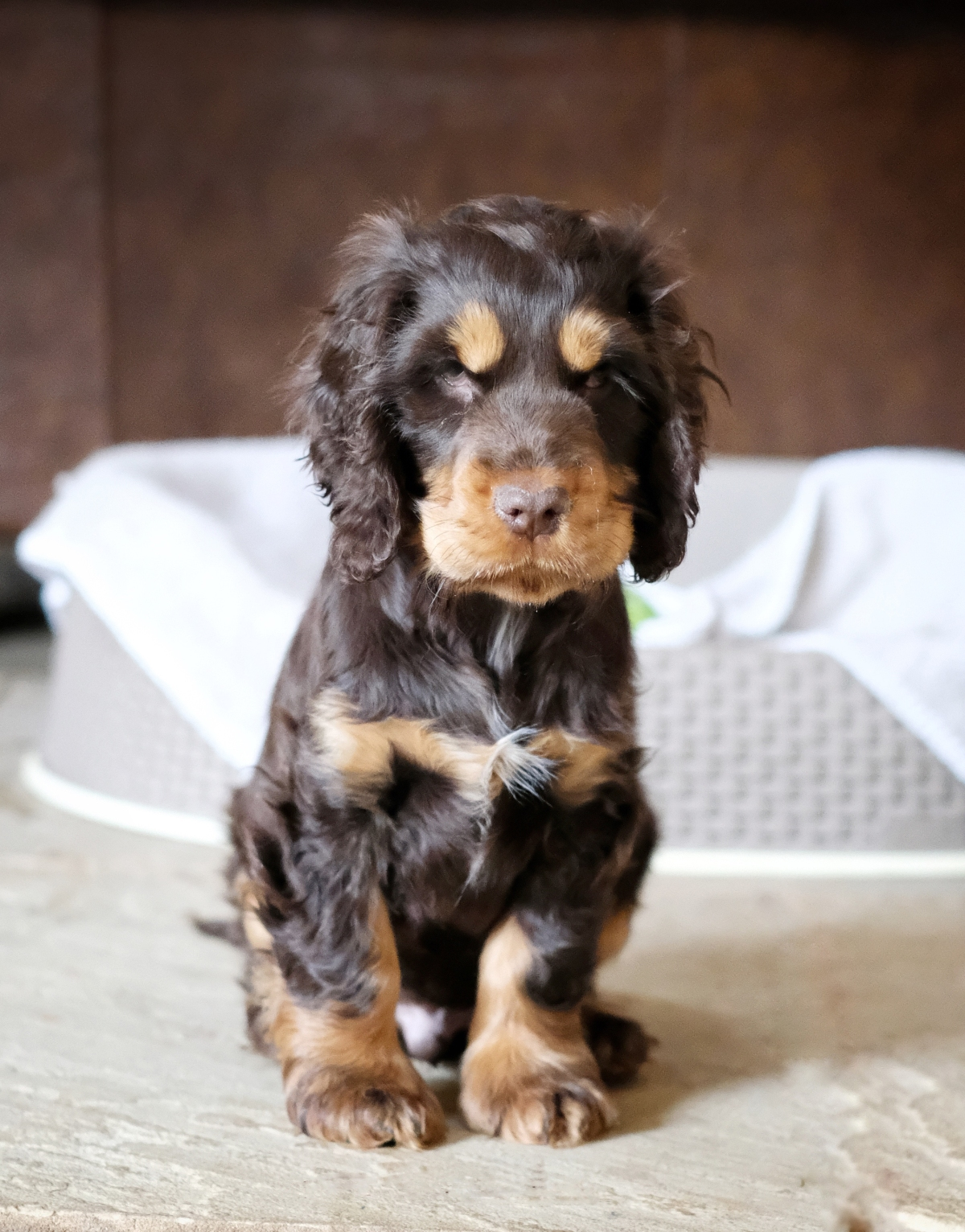 Fred, 2 months old chocolate and tan english cocker spaniel puppy / how to help puppy settle in new home / first puppy tips and advice / first published on Perfect cocker spaniel blog (C) Natalia Ashton