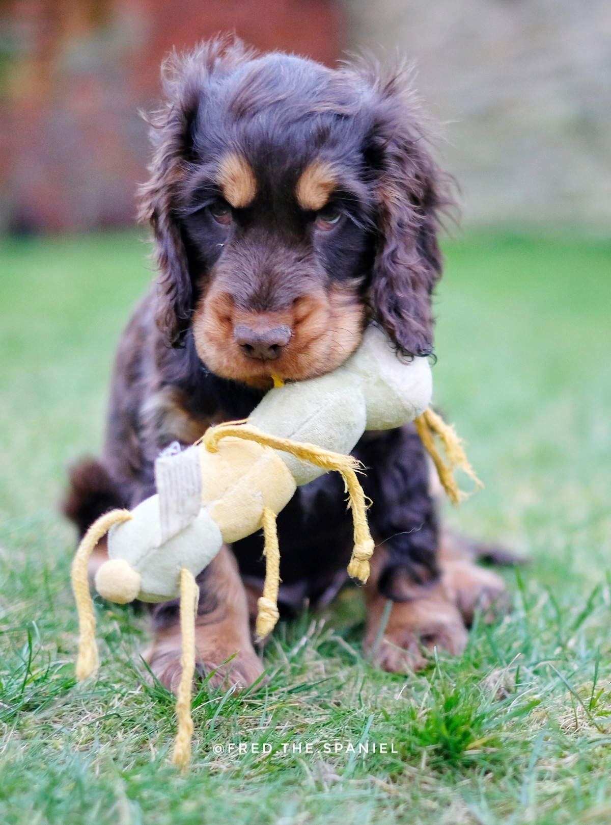 Fred, my chocolate and tan cocker spaniel puppy with his organic dog toy / best toys and chews for teething puppies / first puppy advice and tips / first published on perfect cocker spaniel blog (C) Natalia Ashton