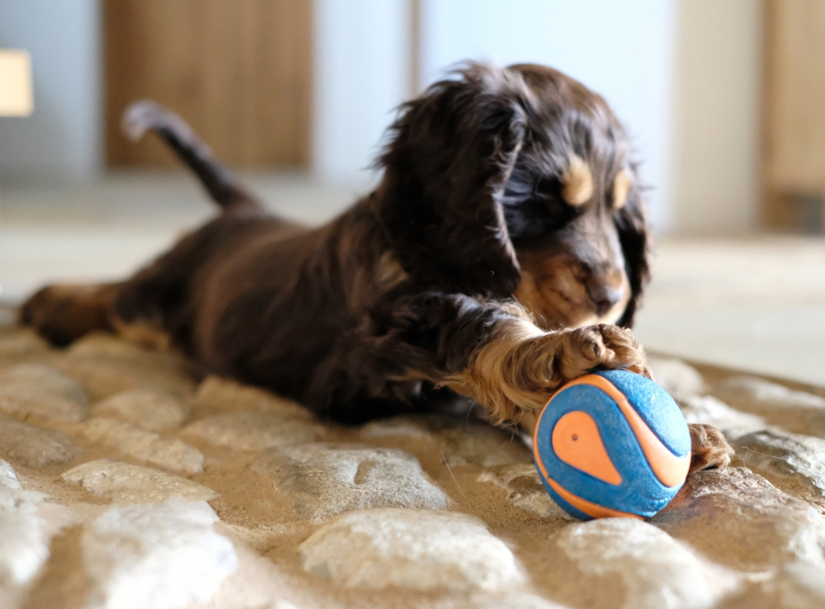 Fred, my chocolate and tan english cocker spaniel puppy playing with his ball / first puppy training tips and advice / things to teach puppy / first published on Perfect cocker spaniel blog (C)