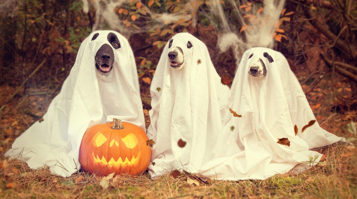 Halloween dogs / what treats and halloween foods can be dangerous for dogs / cocker spaniel advice / perfect cocker spaniel blog / (C) Image by nancy sticke from Pixabay