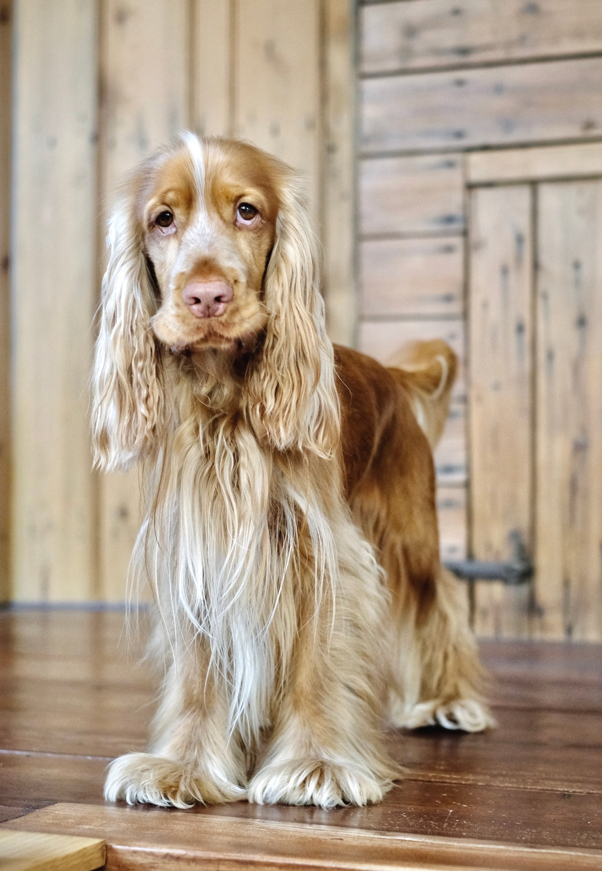 Cooper, my red sable English cocker spaniel (C) Natalia Ashton, Perfect cocker spaniel
