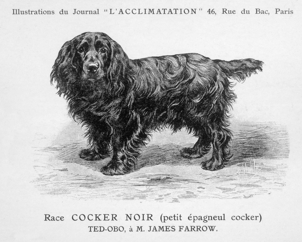 Ted Obo, black English cocker spaniel, the father of modern English cocker spaniels, bred by James Farrow | Photo from Illustrations du Journal L'Acclimatation (C) Mary Evans Picture Library