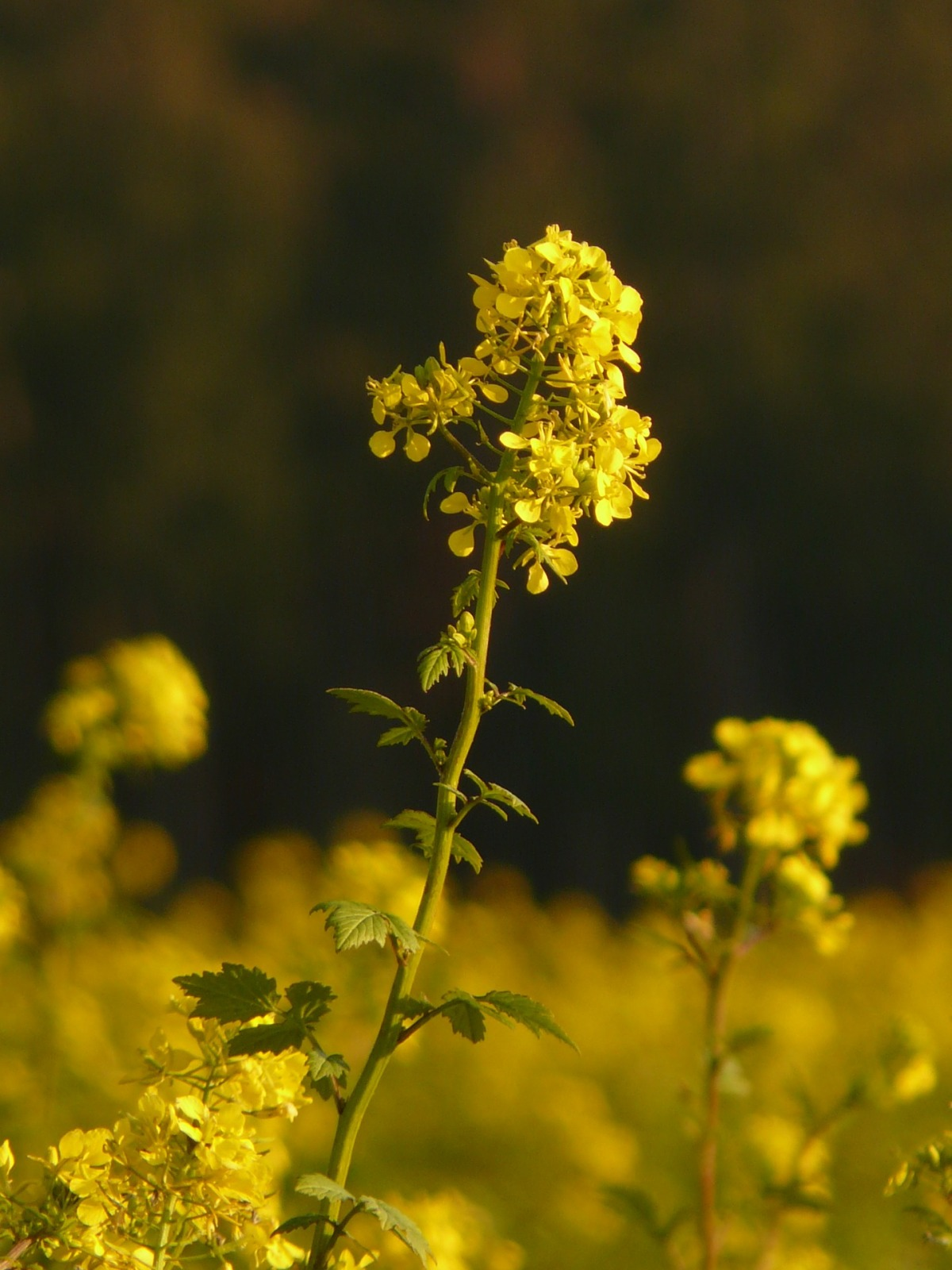 Rape or rapeseed plant dangerous toxic and poisonous to dogs and why / Plants that are toxic to dogs / first published on Perfect cocker spaniel blog (C)