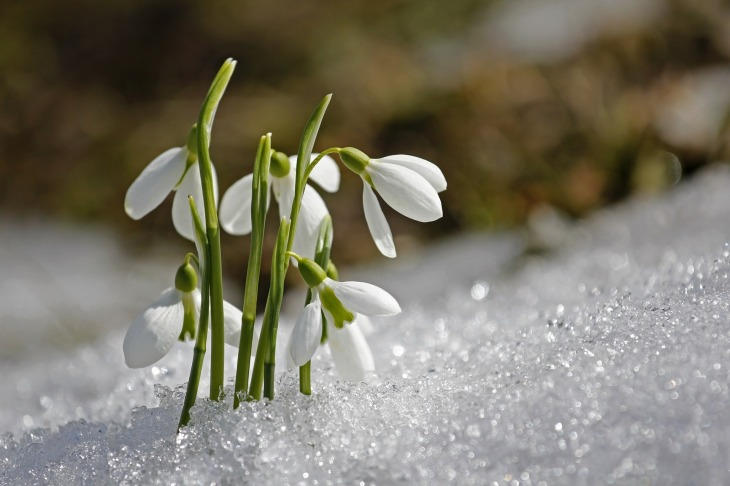 Snowdrops - spring plants that are toxic to dogs / Published on Perfect cocker spaniel / dog blog