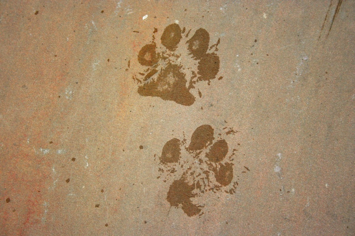 Wet dog paw print. Why it is important to wash cocker spaniel paws after each walk / English cocker spaniel grooming tips and advice / cocker spaniel puppy / first published on Perfect cocker spaniel blog