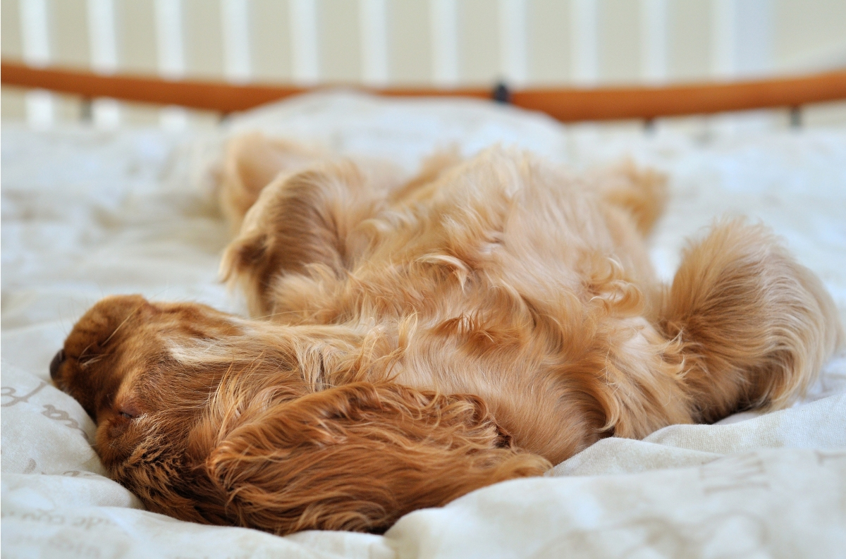 Oscar, golden cocker spaniel puppy sleeping in bed / benefits of humans sleeping with dogs studies / published on Perfect cocker spaniel blog (c) Natalia Ashton