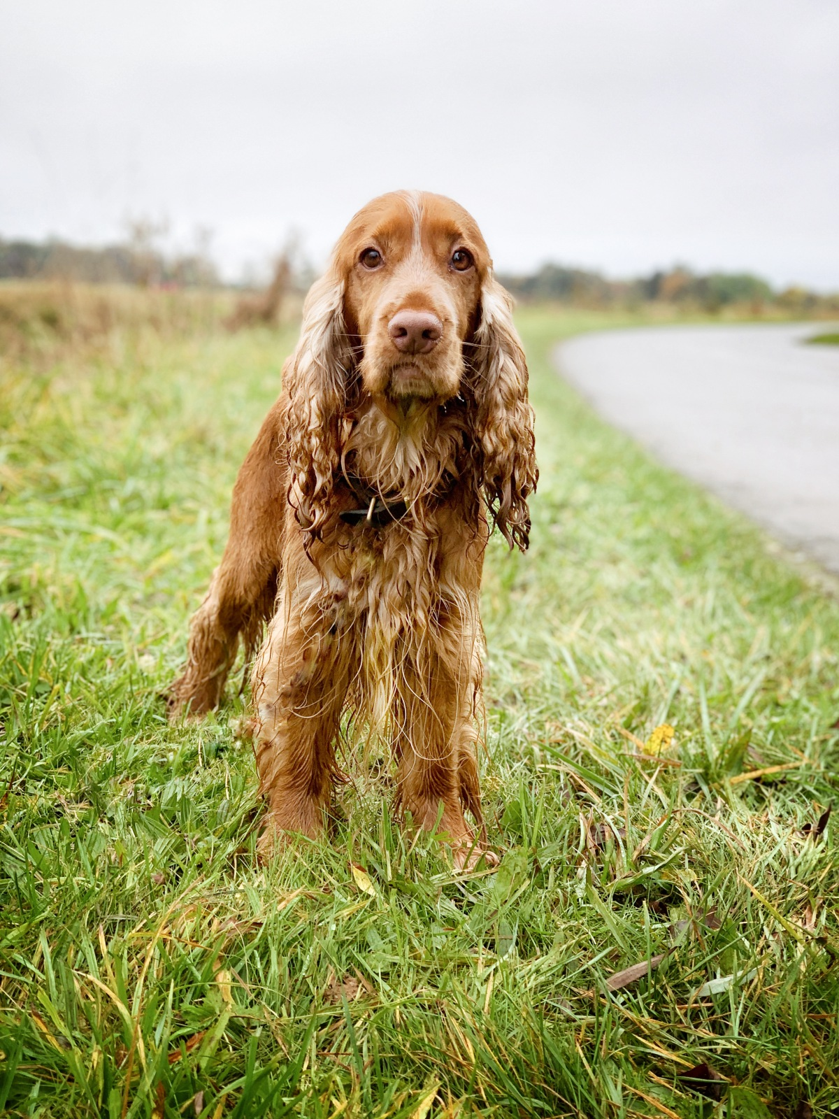 what to do with cocker spaniel dog when the weather is bad and rainy / indoor puzzle games for dogs ideas / puppy tips / all about English cocker spaniel training and keeping calm / Perfect cocker spaniel book and blog / (C) Natalia Ashton