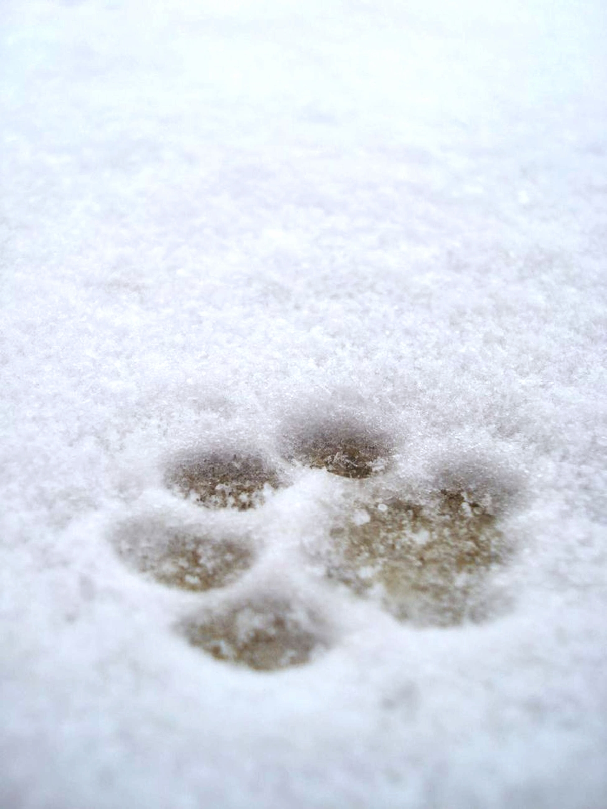 Dog paws in snow photo / Salt, grit, antifreeze poisoning and dangers in dogs in winter / signs of poisoning in dogs / Perfect cocker spaniel book and blog / cocker spaniel tips, advice, grooming, diet (C)