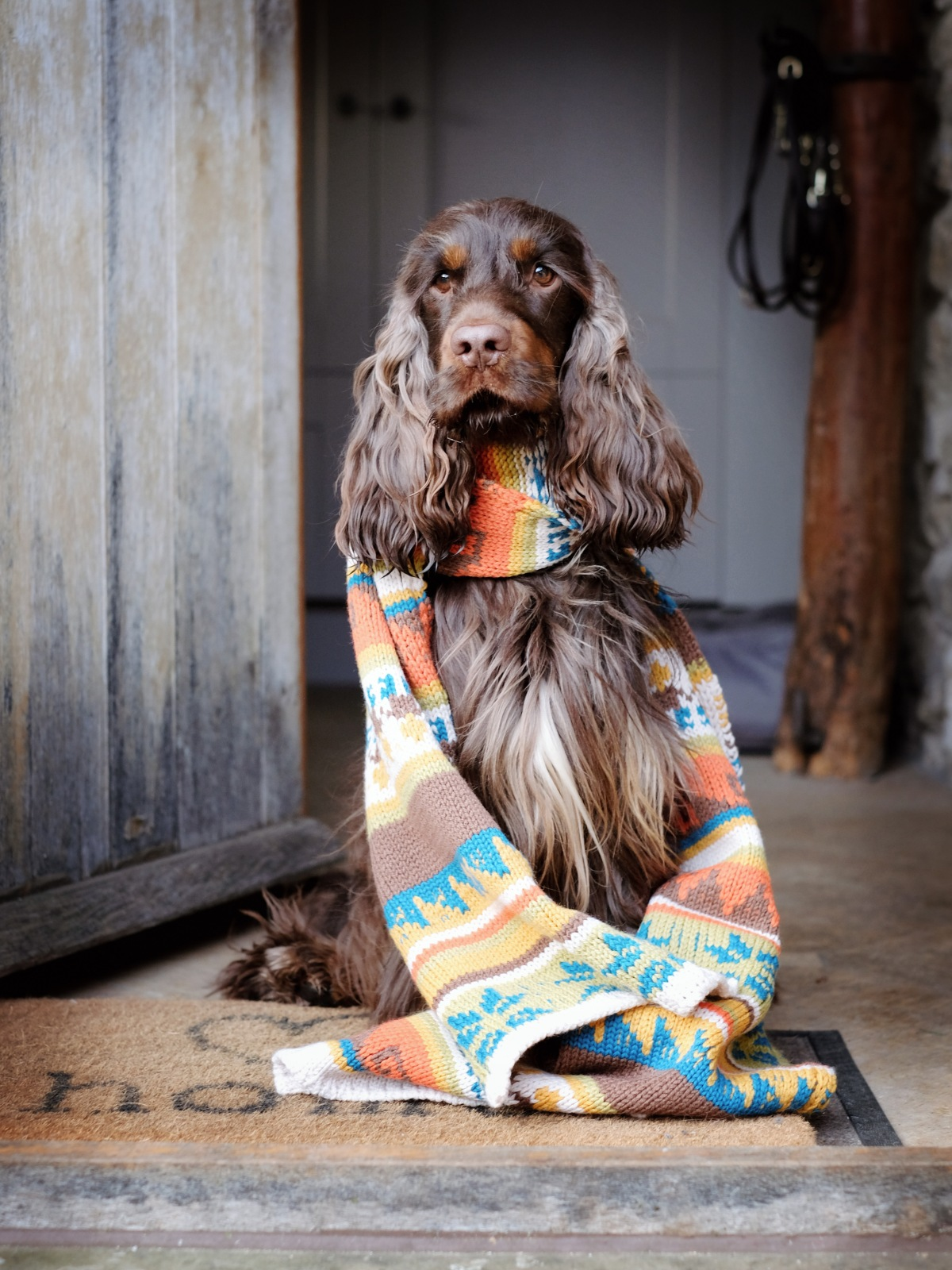 Fred, chocolate and tan English cocker spaniel puppy posing in a wool scarf / Perfect cocker spaniel book and dog blog / cocker puppy tips, advice, how to hand-strip cocker spaniel, cocker spaniel diet, training, best foods (C) Natalia Ashton
