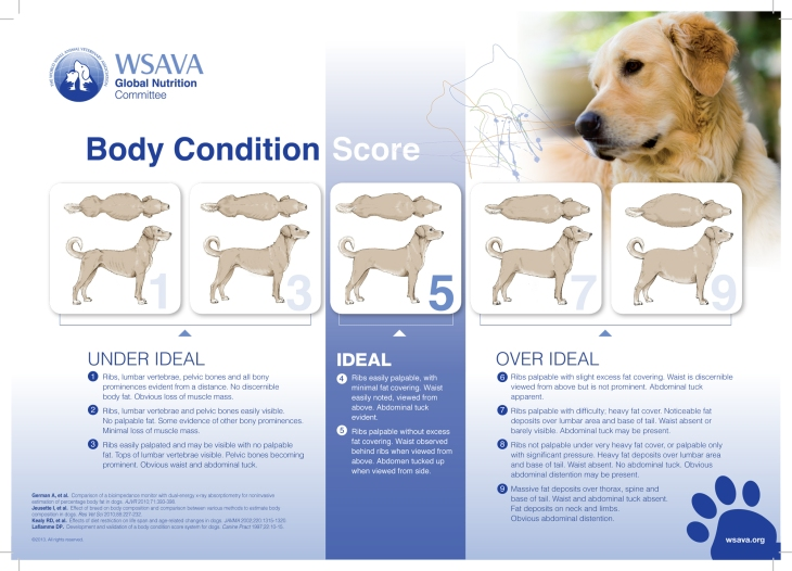 Dog body score chart to see if the dog is normal weight, overweight or obese | how to help dog lose weight | (c) Perfect cocker spaniel dog blog about English cocker spaniels