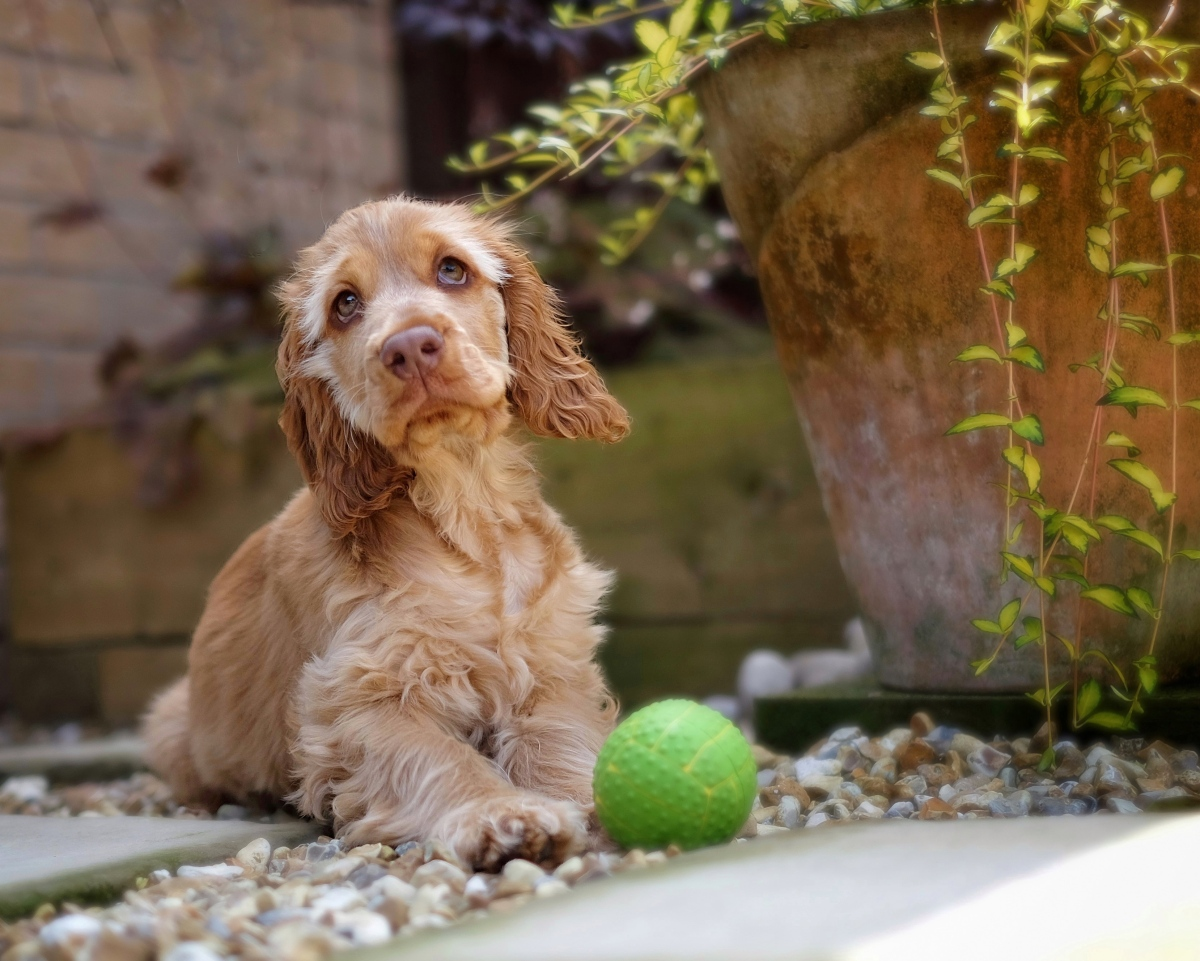 Cooper as a pup hiding from heatwave, red sable English cocker spaniel puppy / UK Heatwave in England | How to keep dog cool and safe during hot weather, heatwave, summer | Signs of heatstroke in dogs and overheating | Ways, tips & advice to protect English cocker spaniel from summer heat | Perfect cocker spaniel breed and puppy tips, advice, training, health, grooming & diet | Pet Blog (C) Natalia Ashton
