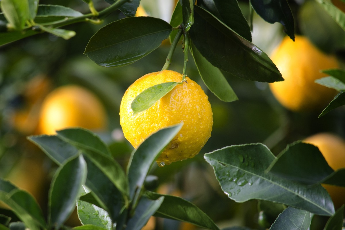 Can my dog eat lemon? Citrus fruit toxic to dogs? Signs of citrus fruit poisoning in dogs / Psoralens toxic to dogs / What fruits contain psoralen / Perfect cocker spaniel: breed and puppy guide, dog blog, grooming tips, healthy nutrition, cocker spaniel diet, puppy diet / (C) Natalia Ashton